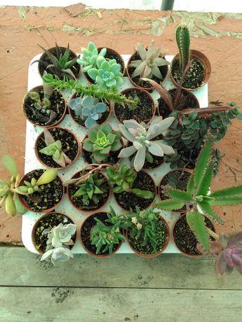 Suculentas Cactus