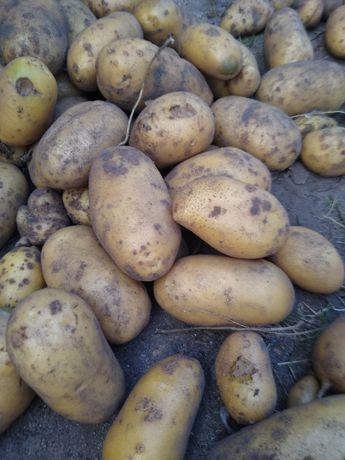 Ziemniaki jadalne worki dowóz