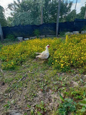 Vendo patos adultos