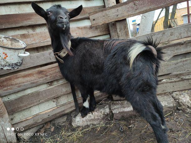 Продам 2 Кози,або обмін на нутрій або кролів