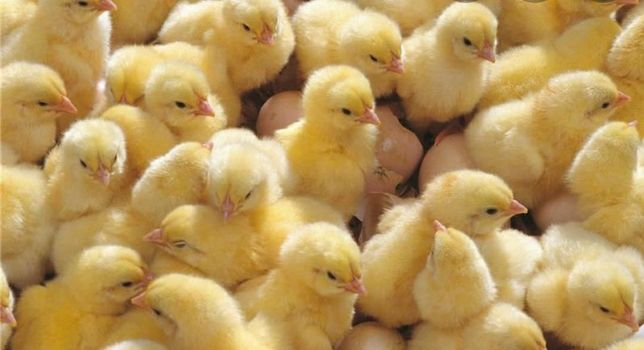 Цыплята бройлер кобб 500 и Росс 308, гусята , утята ,индюшата