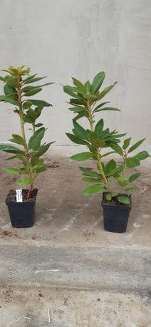 Rododendron 25-45 Cm HURT -DETAL ,dużo kolorów.