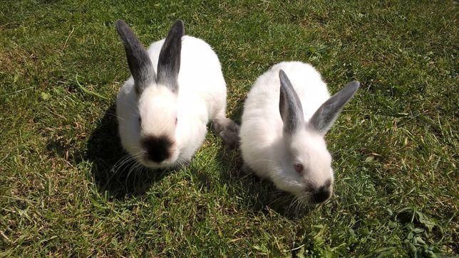 młode króliki kalifornijskie po samcu z rodowodem