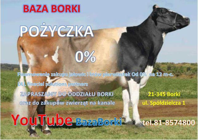 Jałowice i krowy pierwiastki z pożyczką 0% Transport. 0zł