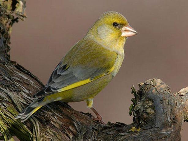 Зеленушка. Певчие птицы.