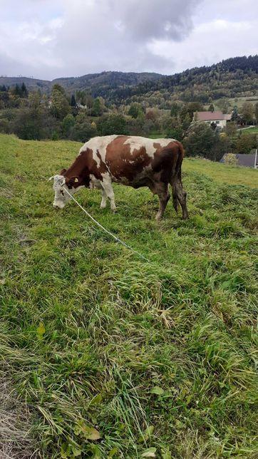 2 krowy simental cielne