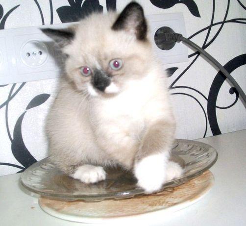 """породистые котята породы """"сноу-шу"""" разновидность сиамской"""