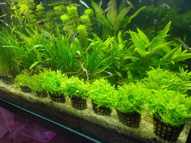Parwa rośliny akwariowe Olsztyn sklep zoologiczny Pirania