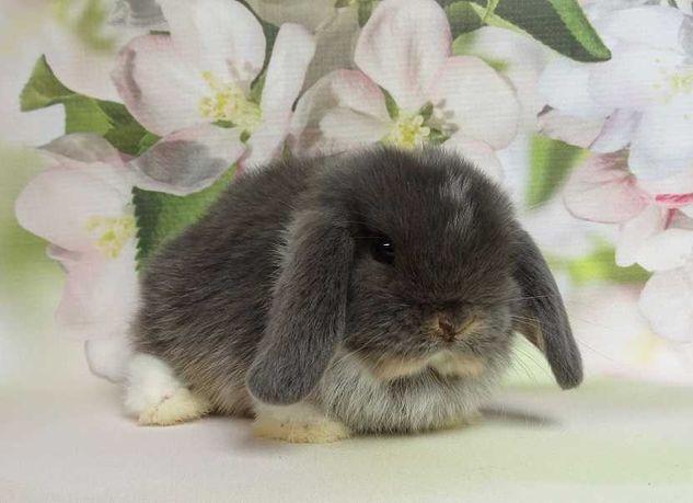Króliczek królik Mini Lop! Piękna samiczka!