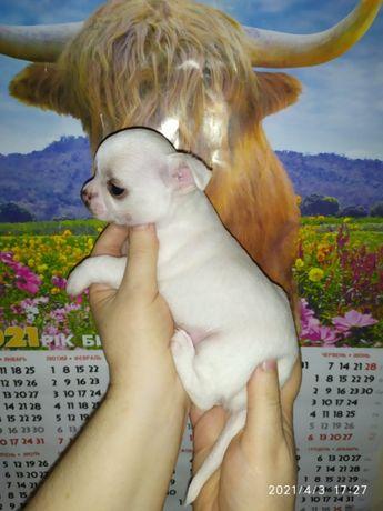 Блондинчики и брюнетики ЧИХУАХУА щеночки
