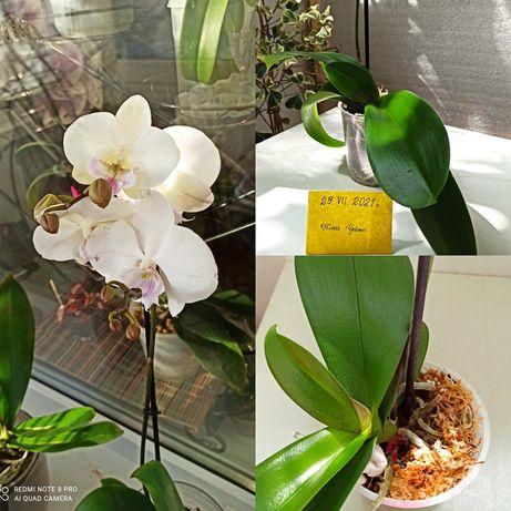 Орхидеи фаленопсисы из домашней коллекции