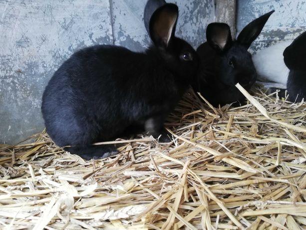 # Młode króliki #