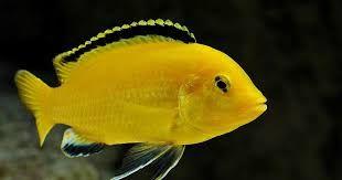 Peixe Ciclídeo labidochromis caeruleus adultos