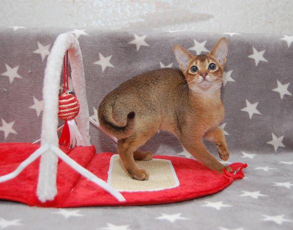 абиссинская кошка из питомника