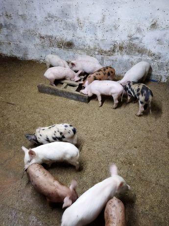 Поросята свиньи поросёнок