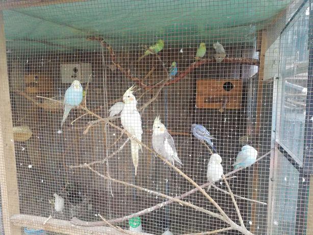Papuga falista samiczki