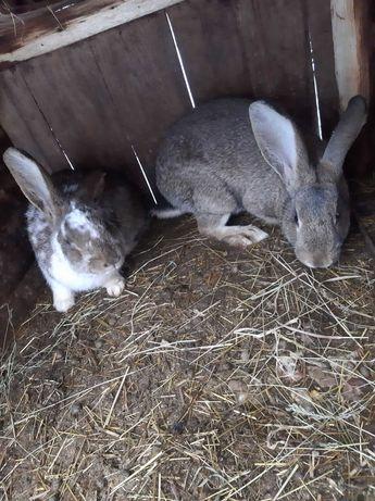 Кролики. Проколоті чеською вакциною. Молодняк 6 -7 місяців.