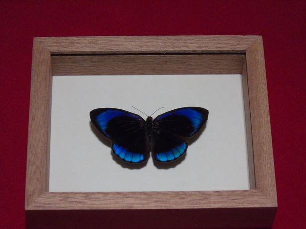 Motyl w ramce 12 x 10cm. Eunica alcmena flora 60mm