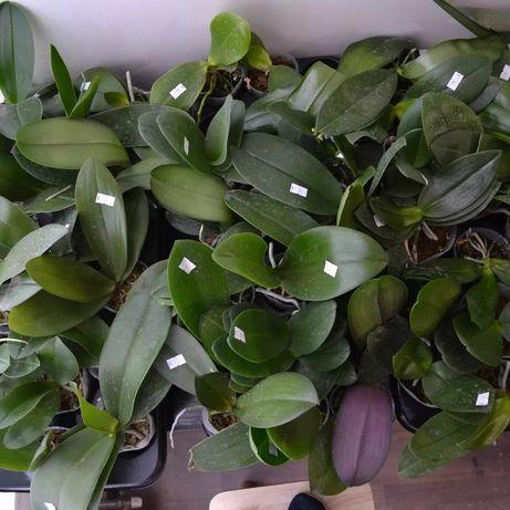 Орхидеи Подростки микс