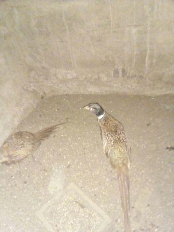 Продам молодняк охотнячого фазана