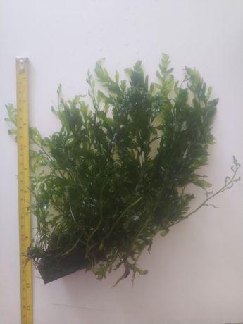 Bolbitis heudelotii compact - roślina na korzeń