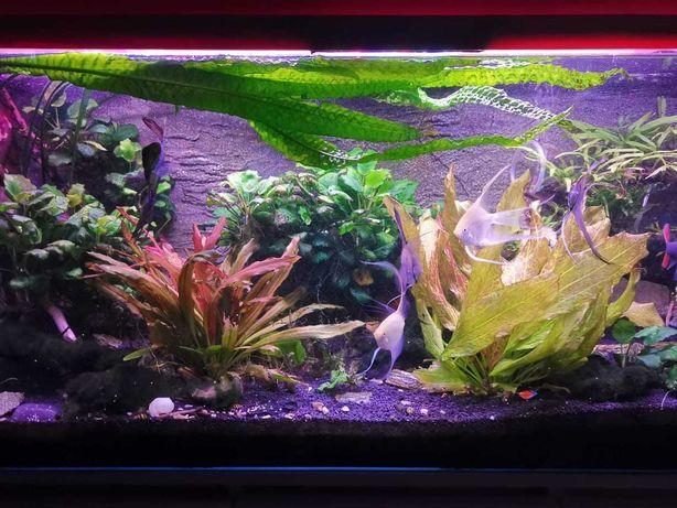 Piękne akwarium wraz z roślinnością, rybkami i wyposażeniem 240L