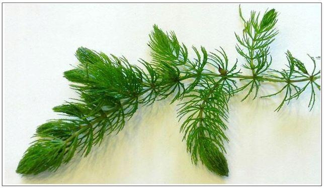 Rogatek sztywny (Ceratophyllum demersum) - Rośliny Akwariowe