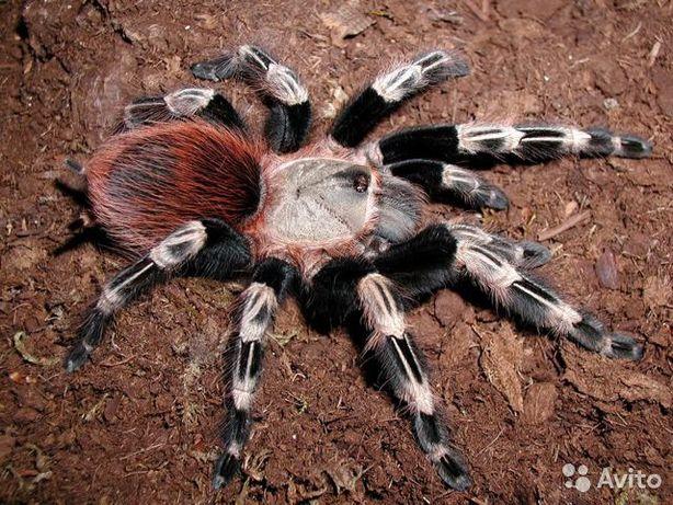 паук птицеед набор павук птахоїд субстрат nhandu chromatus подарок