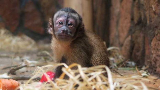бурый капуцын ручные малыши , ручная домашняя обезьянка