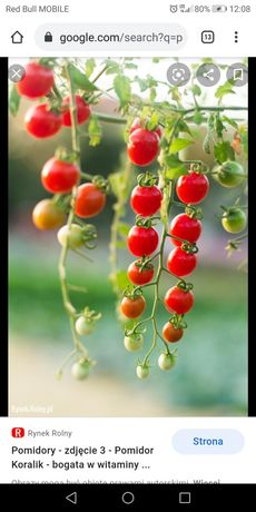 Sadzonka pomidora koktajlowego koralik