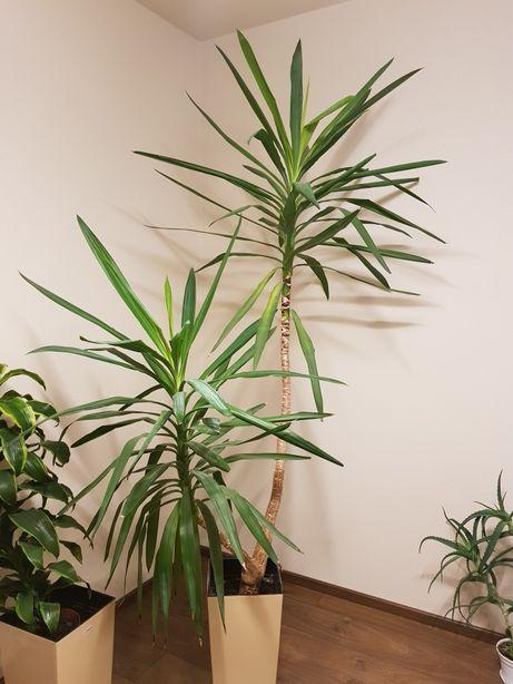 Juka palma