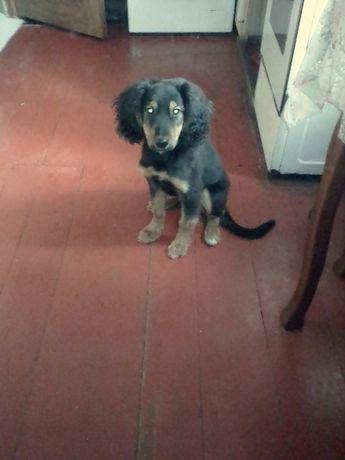 Бесплатно щенок метис спаниэля.Во