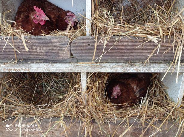 Jajka wiejskie Rozłazino
