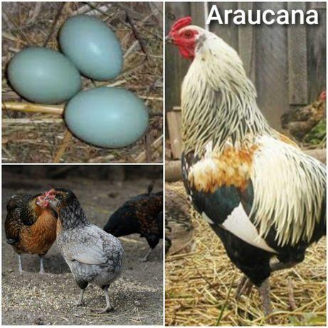 Jajka lęgowe kury rasy araukana