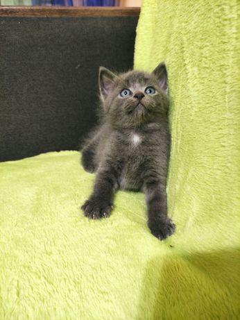 Продадим породистых котиков