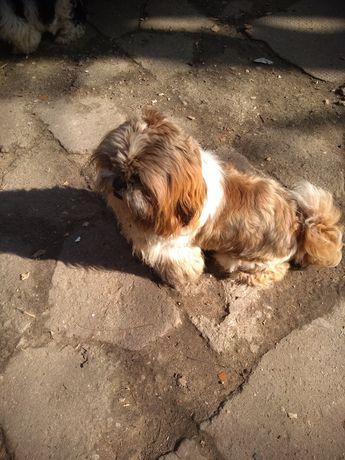 Pies shih TZU 9 miesięcy