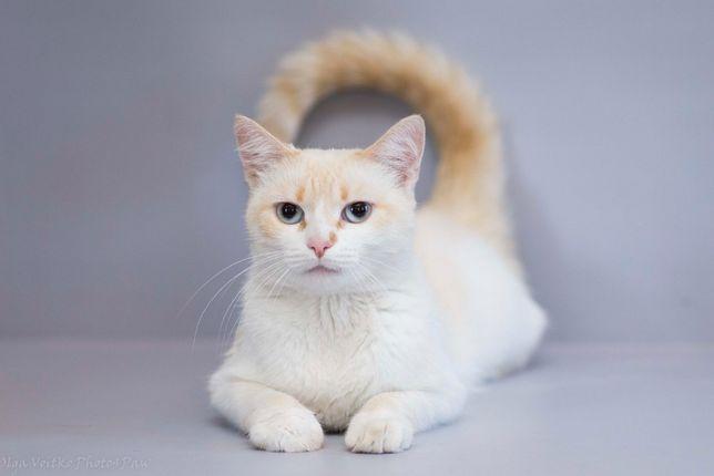 Отдам в хорошие руки молодую кошечку Ксу, метис тайской кошки.