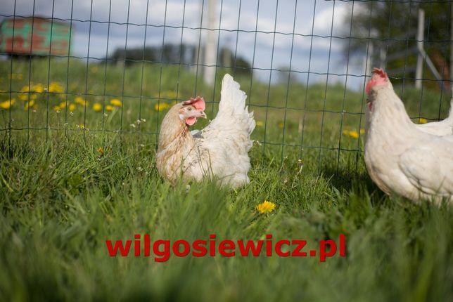 Kury kokoszki odchowane Tetra Rosa kura z dowozem