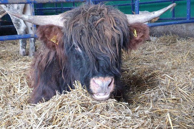 byczki odsadki Highland