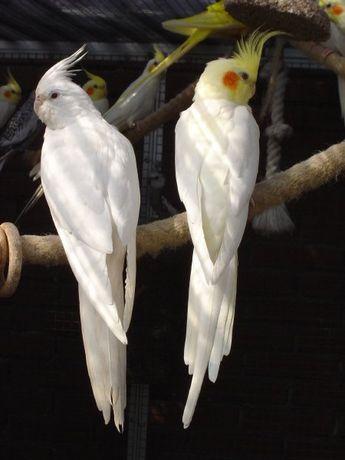 Продам попугаев Карелы и Какарики