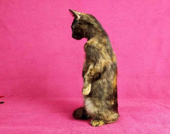 Балерина Жизель, котенок 3 мес, ищет семью! черепаховая кошка кот