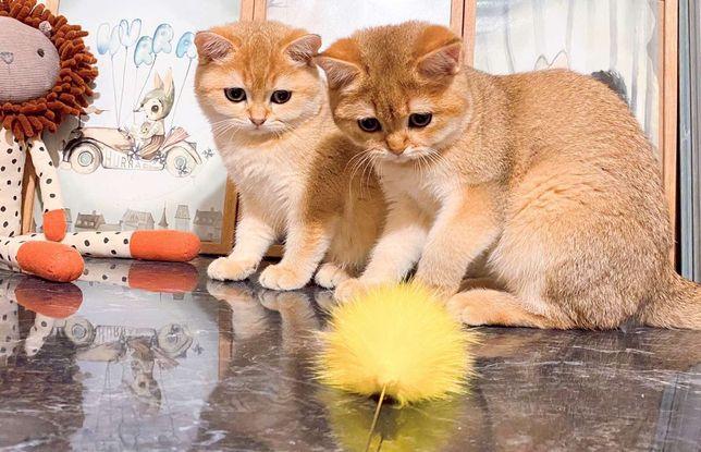В шикарном типе Золотые Шиншиллы котики
