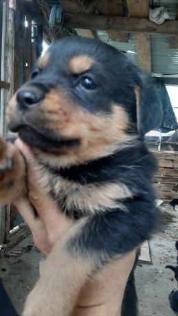 Продам щенков Метисов.первая прививка 17.06