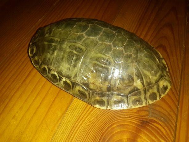 Великий панцер черепахи