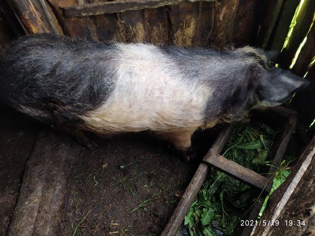 Продається свиня живою вагою