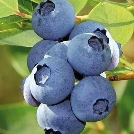 свіжозбирані ягоди лохини, смородини та малини