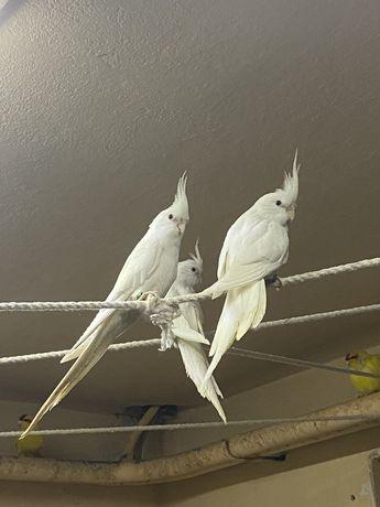 Papugi białe nimfy