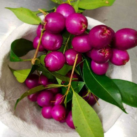 Lili Pili arvore fruto tropicais certificadas