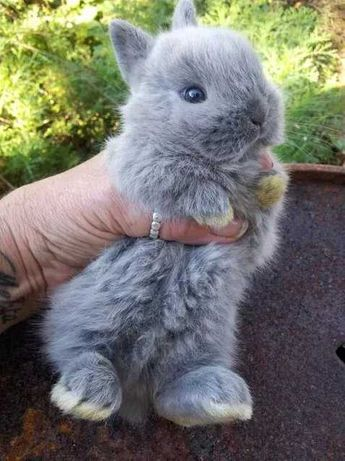 KIT completo coelhos anões mini holandês e minitoy muito fofos