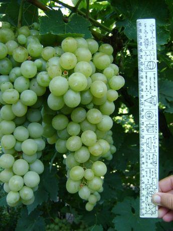 Продам саженцы винограда Карабурну